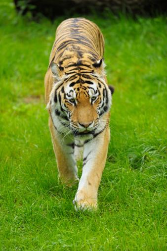 虎「Siberian Tiger」:スマホ壁紙(12)
