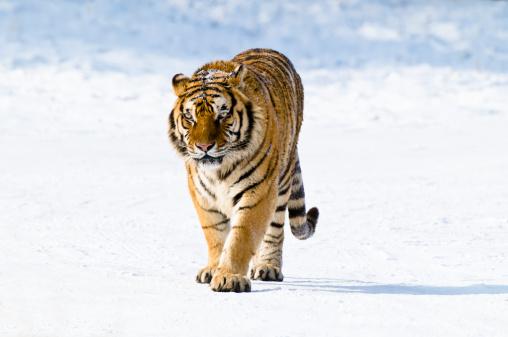 Heilongjiang Province「Siberian Tiger walking in the snow」:スマホ壁紙(3)