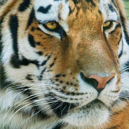 虎「シベリア虎」:スマホ壁紙(6)