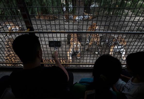 Wilderness Area「China's Siberian Tiger Farm」:写真・画像(10)[壁紙.com]