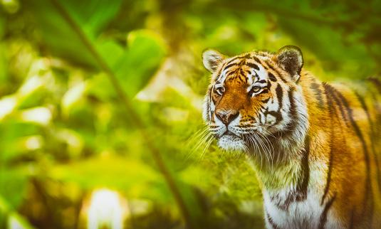 虎「ジャングルの中でシベリア虎狩り」:スマホ壁紙(7)