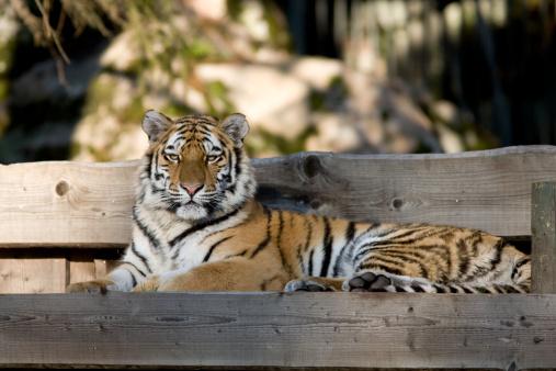 Siberian Tiger「Siberian tiger (Panthera tigris altaica)」:スマホ壁紙(14)