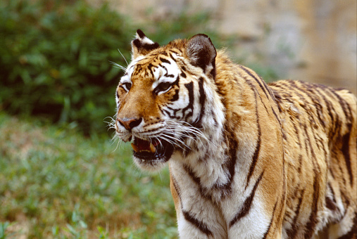 Tiger「Siberian tiger」:スマホ壁紙(17)