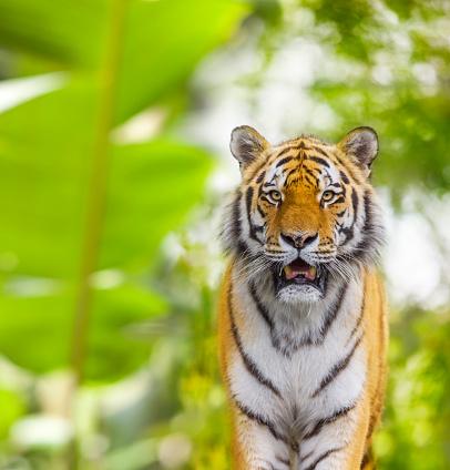 虎「Siberian tiger in jungle looking at camera」:スマホ壁紙(11)