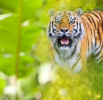 虎「Siberian tiger in jungle looking at camera」:スマホ壁紙(12)