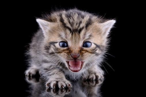 Claw「Screaming kitten, Felis Silvestris Catus, in front of black background」:スマホ壁紙(9)
