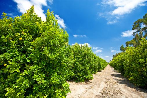 Grove「Lemon trees on a farm in California」:スマホ壁紙(4)