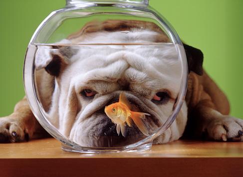 Watching「Bulldog Watching a Goldfish」:スマホ壁紙(9)