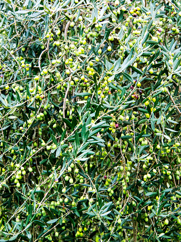 小枝「Harvest Olives waiting to be raked, Tuscany, Italy」:スマホ壁紙(15)