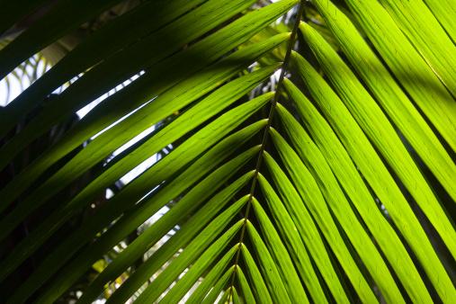 Frond「Coco de Mer palm tree fronds.」:スマホ壁紙(15)