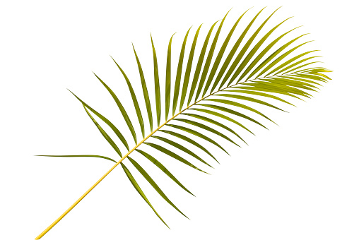 Frond「Palm leaf against white background」:スマホ壁紙(16)