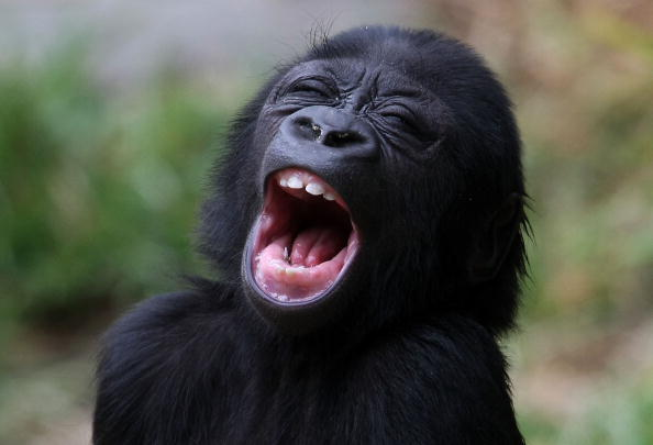 Yawning「Six-Month-Old Baby Gorilla Makes Public Debut At San Francisco Zoo」:写真・画像(0)[壁紙.com]