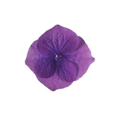 あじさい「Lace Cap Hydrangea」:スマホ壁紙(17)