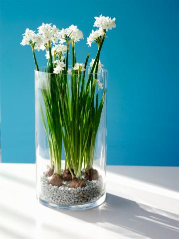 水仙「Paperwhite Daffodils (Narcissus Papyraeus) in vase, close-up」:スマホ壁紙(12)