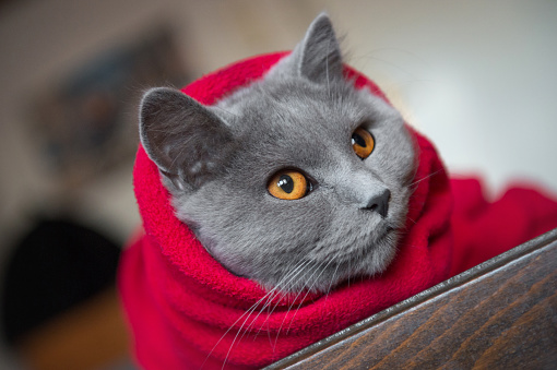 Animal Whisker「Cat wrapped in blanket」:スマホ壁紙(14)