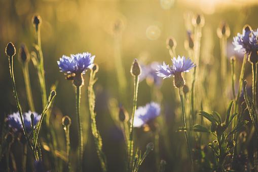 花畑「夕暮れと美しい夕日にコーンフラワー」:スマホ壁紙(12)