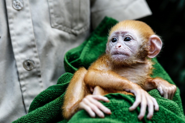 Primate「Bali Zoo Welcomes Newborn Javan Langur」:写真・画像(17)[壁紙.com]