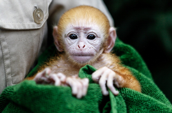 Handle「Bali Zoo Welcomes Newborn Javan Langur」:写真・画像(19)[壁紙.com]