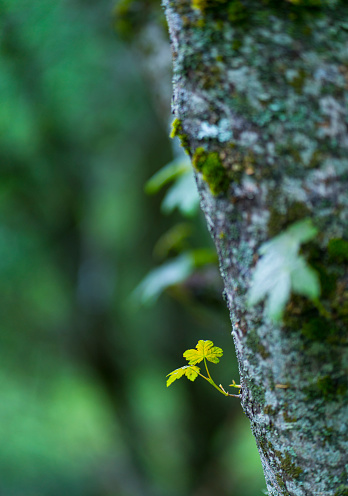 カエデ「Sprout on maple tree, Biological Station El Ventorrillo, Sierra de Guadarrama, Madrid, Spain, Europe」:スマホ壁紙(19)