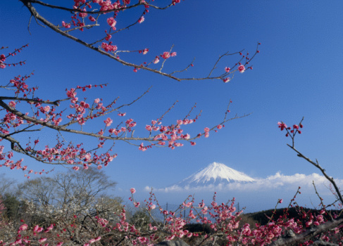 梅の花「Mt.Fuji And Japanese Apricot」:スマホ壁紙(6)