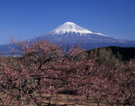 梅「Mt.Fuji And Japanese Apricot」:スマホ壁紙(2)