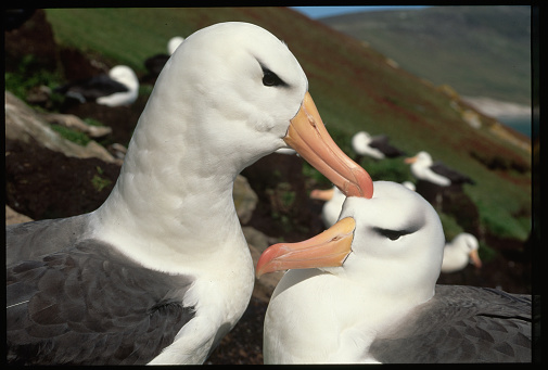 Falkland Islands「Courting Pair of Black-Browed Albatrosses」:スマホ壁紙(8)