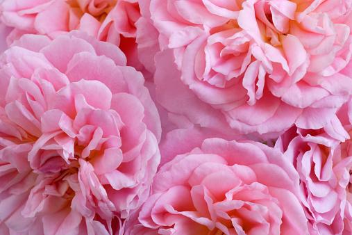 flower「Pink climbing roses, close up」:スマホ壁紙(18)