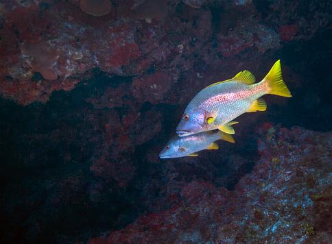 ケイマン諸島「A pair of Schoolmaster fish.」:スマホ壁紙(19)