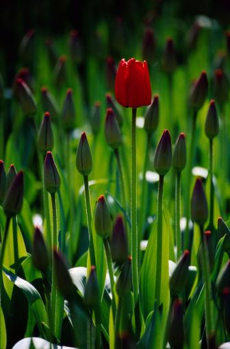 Keukenhof Gardens「Red tulips (Tulipa sp.) Keukenhof Gardens, Amsterdam, Netherlands」:スマホ壁紙(17)