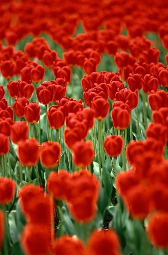 Keukenhof Gardens「Red tulips (Tulipa sp.) Keukenhof Gardens, Netherlands, fullframe」:スマホ壁紙(5)