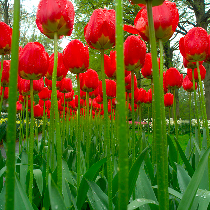 Keukenhof Gardens「Red Tulips with Raindrops」:スマホ壁紙(6)