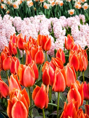 Keukenhof Gardens「Red tulips (Tulipa) in Keukenhof Gardens, Lisse, South Holland, Netherlands」:スマホ壁紙(17)