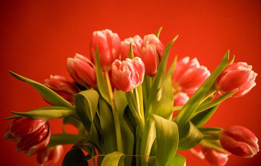チューリップ「Red tulips on red background」:スマホ壁紙(11)
