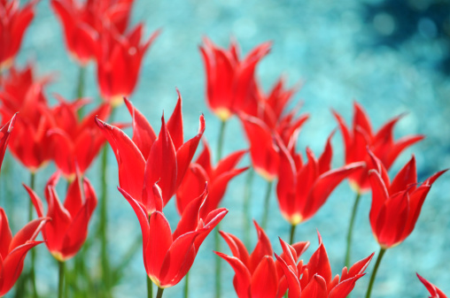 Turquoise Colored「red tulips on turquoise background」:スマホ壁紙(3)