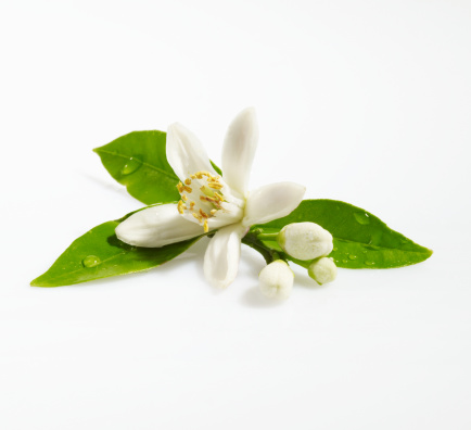 Blossom「Orange Blossom on White Background」:スマホ壁紙(14)
