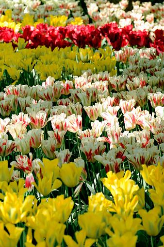 Keukenhof Gardens「Netherlands, Holland, Keukemhof, Tulip bed, yellow red-white and red tulips, Tulipa」:スマホ壁紙(6)