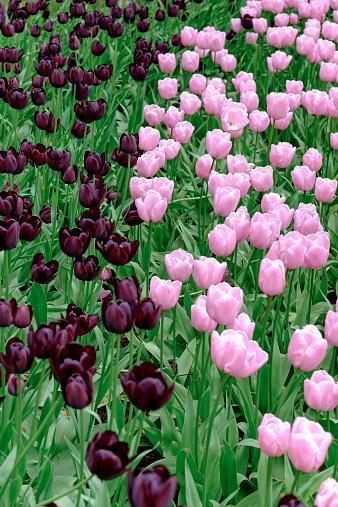 キューケンホフ公園「Netherlands, Holland, Keukemhof, Tulip bed, pink and dark red tulips, Tulipa」:スマホ壁紙(15)