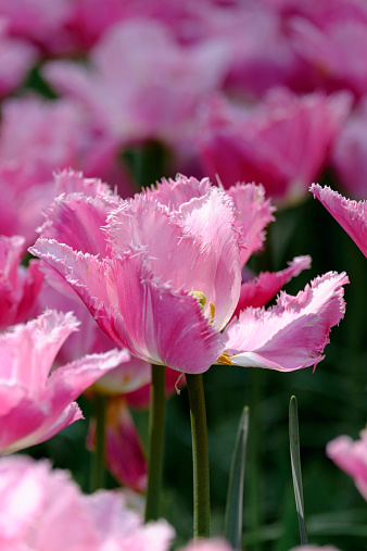 Keukenhof Gardens「Netherlands, Holland, Keukemhof, Tulip bed, Pink tulip, Tulipa」:スマホ壁紙(12)