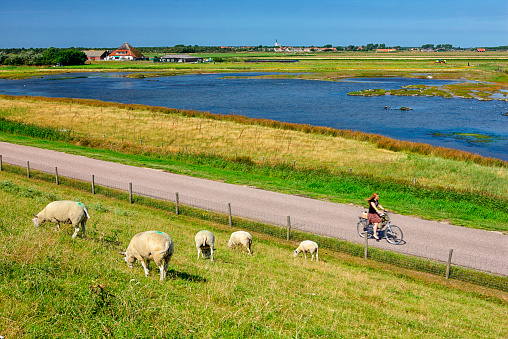 North Holland「Netherlands, Texel Island, Den Burg, sheep grazing on dyke」:スマホ壁紙(14)