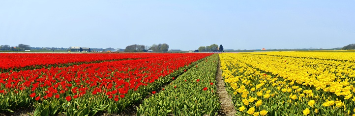チューリップ「Netherlands, North Holland, Panoramic view of tulip fields」:スマホ壁紙(7)