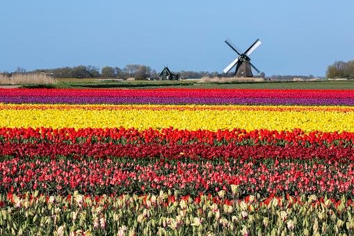 Mill「Netherlands, Sint Maartensbrug, Flowering Tulip Fields. Turning Windmill」:スマホ壁紙(19)