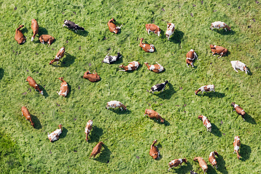 Females「Netherlands, Westbroek, Cows in Meadow Ruminate. Aerial」:スマホ壁紙(10)