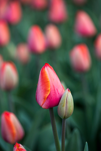 Keukenhof Gardens「Netherlands, Lisse, Keukenhof Gardens. Tulips」:スマホ壁紙(14)