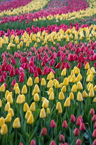 Keukenhof Gardens「Netherlands, Lisse, Keukenhof Gardens. Tulips」:スマホ壁紙(1)