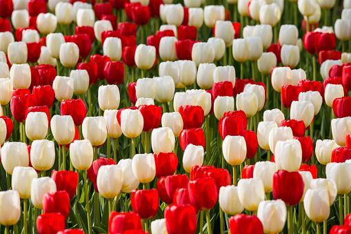 Keukenhof Gardens「Netherlands, Lisse, Keukenhof Gardens. Tulips」:スマホ壁紙(6)