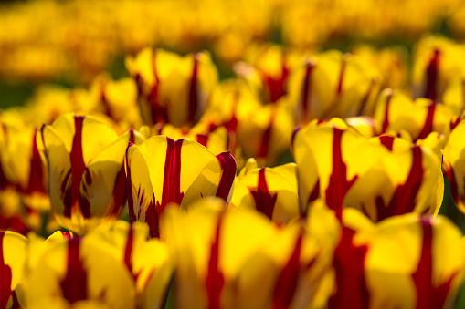Keukenhof Gardens「Netherlands, Lisse, Keukenhof Gardens. Tulips」:スマホ壁紙(7)