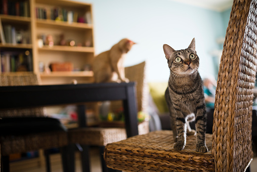 Stalking - Animal Hunting「Tabby cat standing on wicker chair while kitten sitting on table in the background」:スマホ壁紙(19)