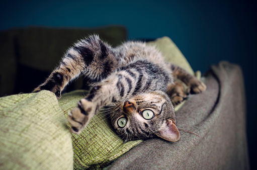 Staring「Tabby cat stretching on backrest of a couch」:スマホ壁紙(12)