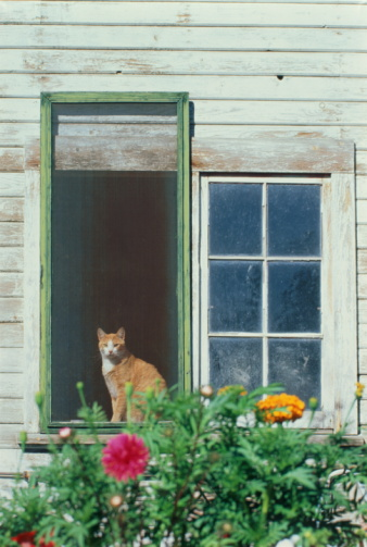 Mixed-Breed Cat「Tabby cat sitting in window of white barn,flowers in fore」:スマホ壁紙(10)