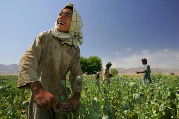 Afghanistan Farmers Harvest Healthy Crop Of Poppies:ニュース(壁紙.com)